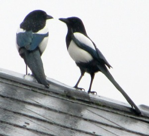 magpies (1)